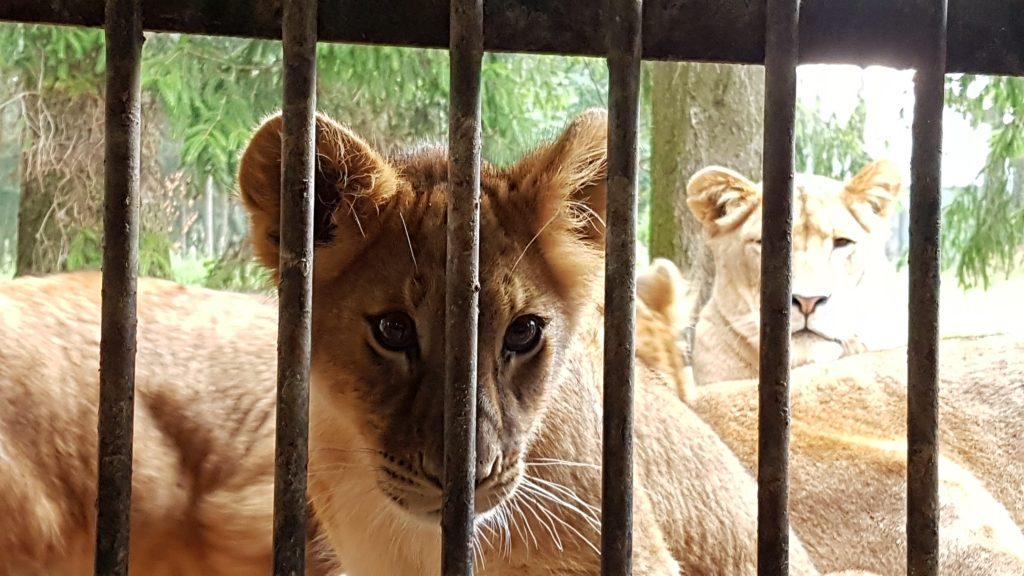 Lejon på nära håll.